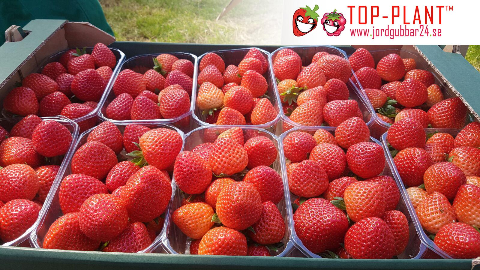 Strawberry frukt - bästa pris