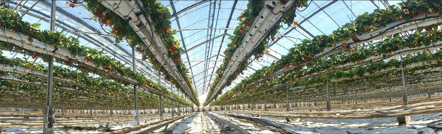 Tillverkare jordgubbar TOP-PLANT